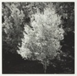 Fall Trees, New Mexico, Birch Tree Lighted by Sun