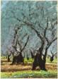 Olive Trees Greece, Delphi