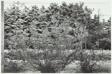 Climbing Rose Vines, Saratoga Springs, New York