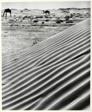Camels and Side of a Sand Dune, Al Karj, Nadj, Saudi Arabia