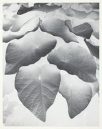 Dutch Pipe Leaves