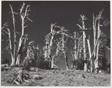Dead Pines, Crater Lake, Oregon