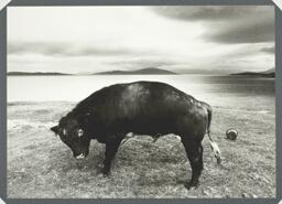 Scarista Bull, Isle of Harris
