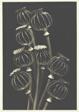 Eight Lantern Poppies