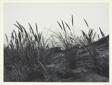 Dune Grass, Mendocino