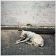 Calcutta Dog