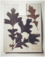 Field Museum, Oak Leaves, 1892