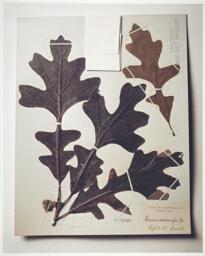 Field Museum, Oak Leaves, 1892