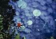 Lily Pond No. 6