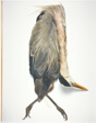 Field Museum, Great Blue Heron, Texas, 1922