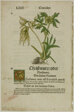 Christwurz (Hellebore) from Herbarium (Kräuterbuch), plate 96 from Woodcuts from Books of the XVI Century