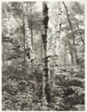 White Tree, Harriman Park, New York