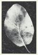 Leaf, Mount Tamalpais