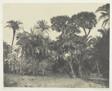 Bois de Dattiers et de Palmiers Doums, Haute-Egypte