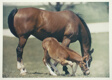 Racehorse: The Farm - Calumet Mare with Young Nashua Colt