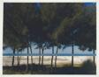 Australian Pines, Fort DeSoto, Florida
