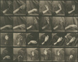Animal Locomotion, Plate 535