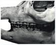 Animal Skulls, Tapir